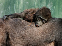 Baby lowland gorilla Royalty Free Stock Photos
