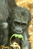 Baby lowland gorilla Royalty Free Stock Image