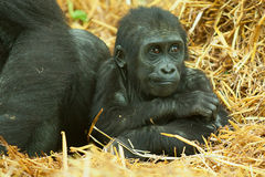 Baby Lowland Gorilla Stock Photos