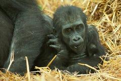 Baby lowland gorilla Stock Images