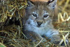 Baby Lynx. At five weeks old Royalty Free Stock Photos