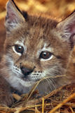 Baby Lynx. A 6-week old lynx plays in some hay Royalty Free Stock Photos