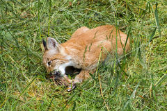 Baby lynx eating Stock Photography
