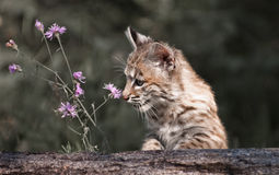Baby Lynx looking at flower. Baby  Lynx looking at flower while playing around a fallen log Royalty Free Stock Photography