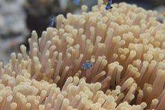 Baby Lyretail Hogfish in Lijstkoraal stock fotografie
