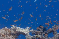 Lyretail Anthias Over Table Coral. Lyretail Anthias, Arabian Chromis, and Lunar Fusilier over Table Coral on Coral Reef in Red Sea off Dahab, Egypt stock photo