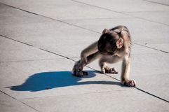 Baby macaco. Baby gibraltarians primate macaco playing in the top of Mount Calpe, Gibraltar, UK Stock Images