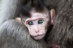 Baby macaque Royalty Free Stock Image