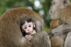 Baby Macaque Being Groomed Stock Photography