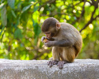 A baby macaque eating an orange Royalty Free Stock Photography