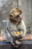 Baby Macaque with fruit. One of Gibraltar's macaque apes royalty free stock photography