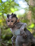Baby macaque Stock Image