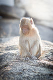 Baby macaque Stock Photo