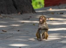 Baby Macaque or Macaca. A small Baby Macaque or Macaca sitting on the sidewalk stock image