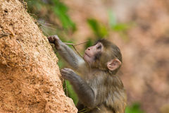 Baby Macaque monkey. Climbing hill Stock Photo
