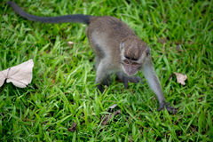 Baby macaque monkey. In Bako national park in Borneo, Malaysia stock image