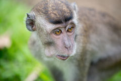 Baby macaque monkey. In Bako national park in Borneo, Malaysia royalty free stock photography