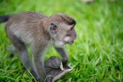 Baby macaque monkey. In Bako national park in Borneo, Malaysia royalty free stock images