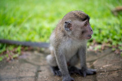 Baby macaque monkey. In Bako national park in Borneo, Malaysia stock photos