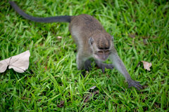 Baby macaque monkey. In Bako national park in Borneo, Malaysia stock images