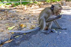 Baby macaque monkey eating fruit. A baby macaque monkey in a Monkey Forest park near Ubud, Bali, Indonesia, being given banana Royalty Free Stock Photography