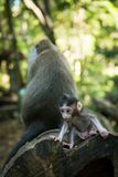 Baby macaque monkey Royalty Free Stock Photo