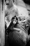 Baby macaque monkey. Stock Image