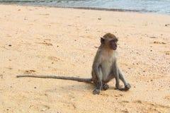 Baby macaque monkey, Krabi, Thailand Royalty Free Stock Photo