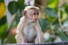 Baby  Macaque monkey Macaca sinica. Baby Macaque monkey Macaca sinica at Sri Lanka Royalty Free Stock Photos