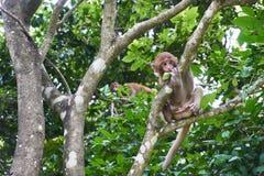 Baby macaque monkey sitting on the tree. Monkey Island, Vietnam, Nha Trang