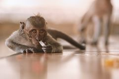 Monkey sniffing on cigarette butt stock images
