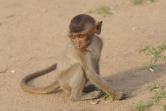 Baby Macaque Monkey. Baby monkey at a Thai temple Royalty Free Stock Photo