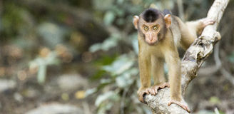 Baby macaque monkey Royalty Free Stock Photos