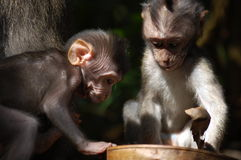 Baby Macaque Monkeys Stock Photography