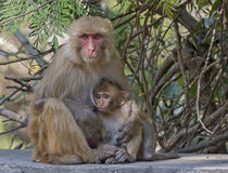 Baby macaque with mother Stock Photos