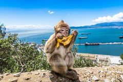 A baby Macaque sitting on a wall in Gibraltar eating a banana