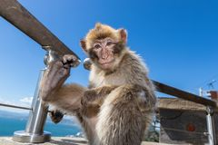 A baby Macaque sitting on a wall in Gibraltar