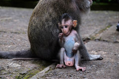 Baby Macaque Royalty Free Stock Photos