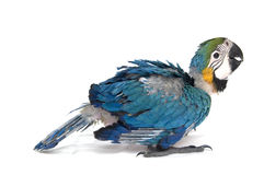 Baby macaw in rest Stock Photos