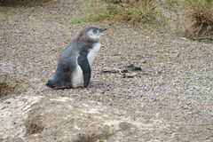 Baby magellan penguin in natural area Royalty Free Stock Photo
