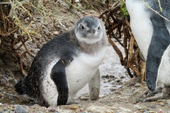Baby magellanic penguin looking royalty free stock images