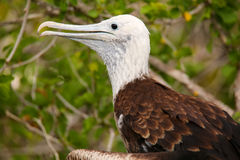 Baby Magnificent Frigatebird sitting on a tree on North Seymour Royalty Free Stock Image