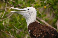 Baby Magnificent Frigatebird sitting on a tree on North Seymour Stock Photography