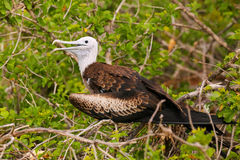 Baby Magnificent Frigatebird sitting on a tree on North Seymour Stock Images