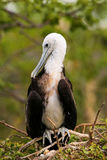Baby Magnificent Frigatebird sitting on a tree on North Seymour Royalty Free Stock Photography