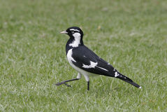 Baby magpie Stock Photography