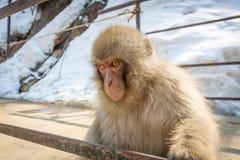 Baby-Makaken-Gesicht Lizenzfreies Stockfoto