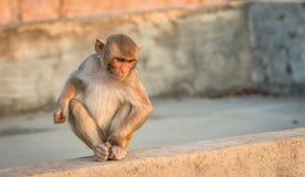 Baby-Makakenaffe, Jaipur, Indien Lizenzfreie Stockbilder