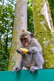 Baby macaque monkey eating fruit Royalty Free Stock Photo