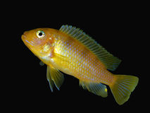 Baby Male Kenyi Cichlid Ad Ready. Cut out and ready for easy placement in your ad.  This is a male baby kenyi cichlid.  If you take a real close look you can see Stock Image